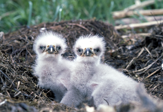 SASSY BALD EAGLE CHICKS: NOT BALD AT ALL BUT SURPRISINGLY FLUFFY